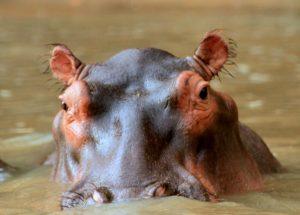 Hippopotamus - Hipopotamo