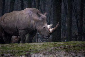 Rhinocero - Rinoceronte