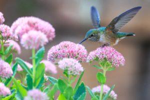 Hummingbird - Beija-flor
