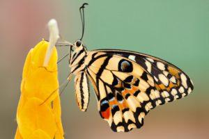 Butterfly - Borboleta