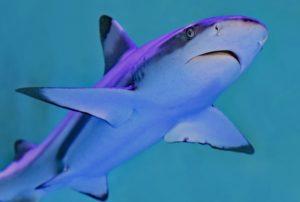 Shark - Tubarão
