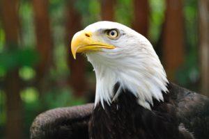 Eagle - Águia